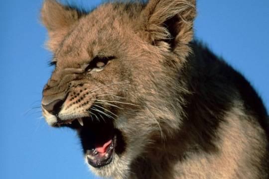 Генпрокуратура Энгельса требует изъять напавшую наподростка львицу