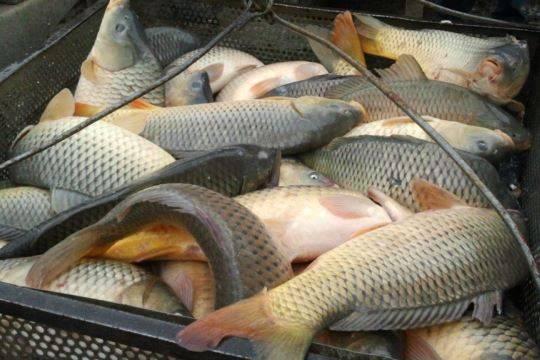 Сначала года вобласти произведена 2551 тонна прудовой рыбы